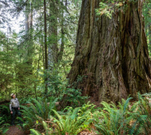 An ancient redwood in the Grove of Titans. Photo by Max Forster