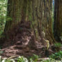 Denuded understory and exposed roots of a coast redwood. Photo by Max Forster
