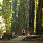 Giant Tree, Rockefeller Loop, Humboldt Redwoods State Park. Photo by Tjflex2, Flickr Creative Commons