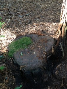 New bark has complete covered this redwood stump at the Grove of Old Trees.
