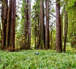 Prairie Creek Redwoods State Park. Photo by Jon Parmentier