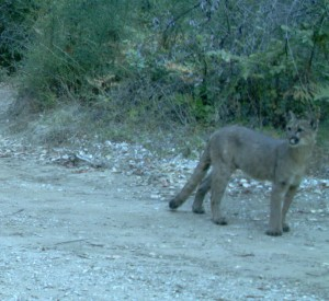 A trail camera captured this beautiful mountain lion as it roamed the CEMEX property.