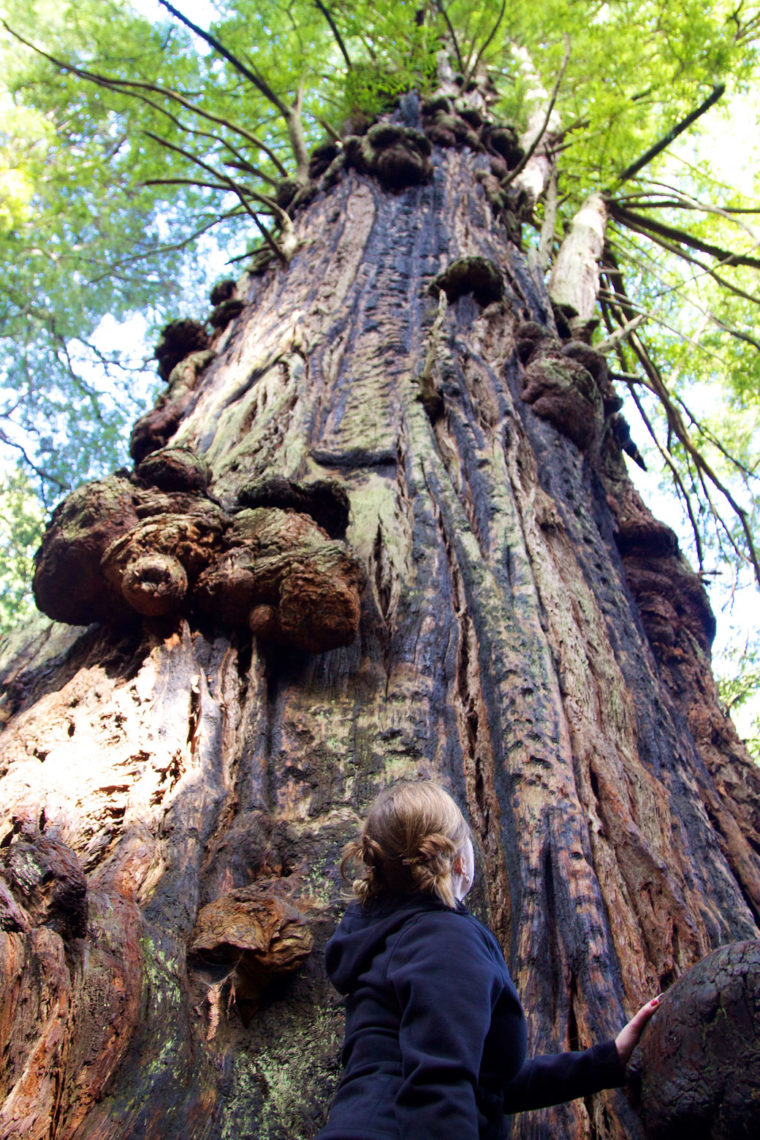 Burls protrude from a coast redwood