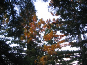 Early sunrise sunbeams turn the redwood treetops orange.