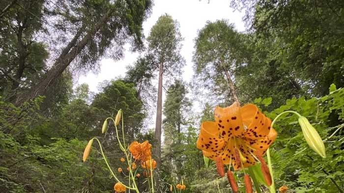 Redwood videos