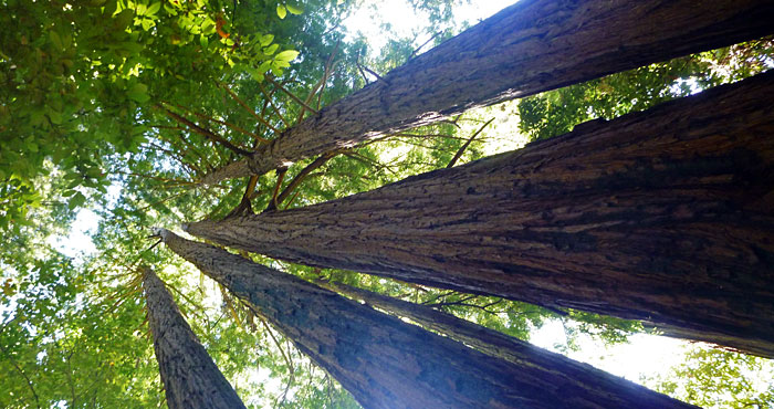 Portola Redwoods State Park is home to some of the tallest, most majestic redwoods in the Santa Cruz Mountains.