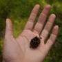 Coast redwood cone. Photo by Julie Martin
