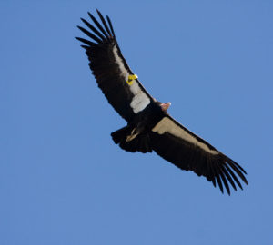 A California condor glides over Big Sur, California. Photo by Sebastian Kennerknecht/Minden Pictures.