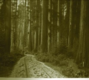 Historical sepia photo of coast redwoods in Humboldt County