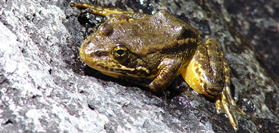Mountain Yellow-legged Frog is listed as Endangered. Photo credit: Rick Kuyper, USFWS