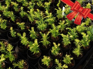 Give the gift of redwood seedlings. Photo by Mark Bult