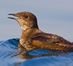 "Marbled murrelet is listed as ""Endangered."" Photo by Tim Lenz, Flickr Creative Commons"