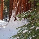 Mariposa Grove, Yosemite.