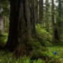 Prairie Creeek Redwoods State Park. Photo by Max Forster