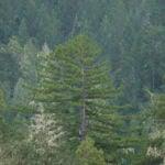 A redwood rises high in Harold Richardson Redwoods Reserve
