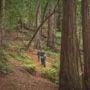 Old-growth redwoods of Harold Richardson Redwoods Reserve.