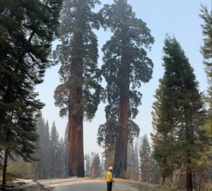 A man in a yellow shirt and hard hat stands in a road surrounded by giant sequoia trees.