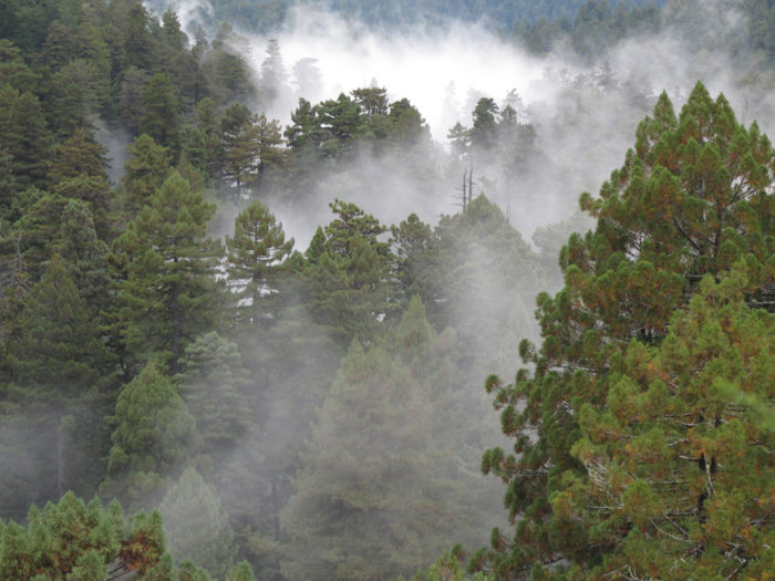 Fog provides coast redwoods with much of the moisture they need