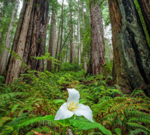 Trilliums bloom in the redwoods in spring