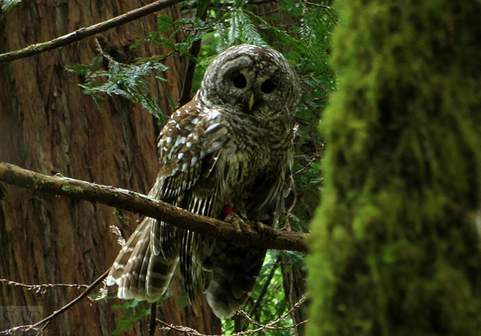Scott Wright's photo protrays a barred owl in Muir Woods, winner of first prize in the 2013 Know Wonder Photo Contest.