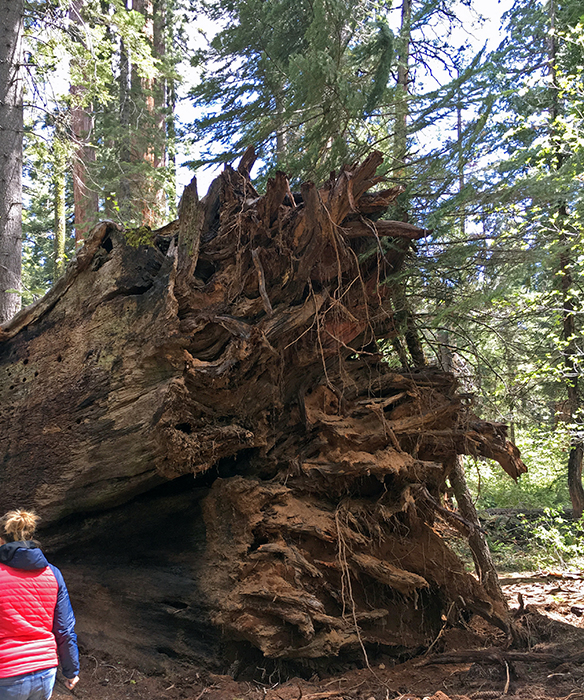 The fallen Pioneer Cabin Tree. Photo by Save the Redwoods League