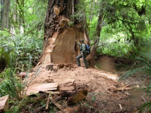 A ranger stands near a grand coast redwood that lost its burl to poachers this week at Prairie Creek Redwoods State Park. Photo by Marshall Neeck.