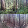 Two panoramic photos comparing conditions in an old growth  forest(top) and a neighboring second growth  forest(bottom) in Prairie Creek Redwoods State Park. Redwoods in the second growth forest suffer from high competition and lack the fully develop canopies seen in the old growth forest. The large multilayered canopy of an old growth redwood allows these trees to grow so large and provide critical habitat for wildlife. Photo by Andrew Slack, Save the Redwoods League
