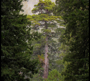 Redwood Forest Facts | Save the Redwoods League