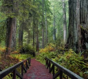 Trail along a redwood forest