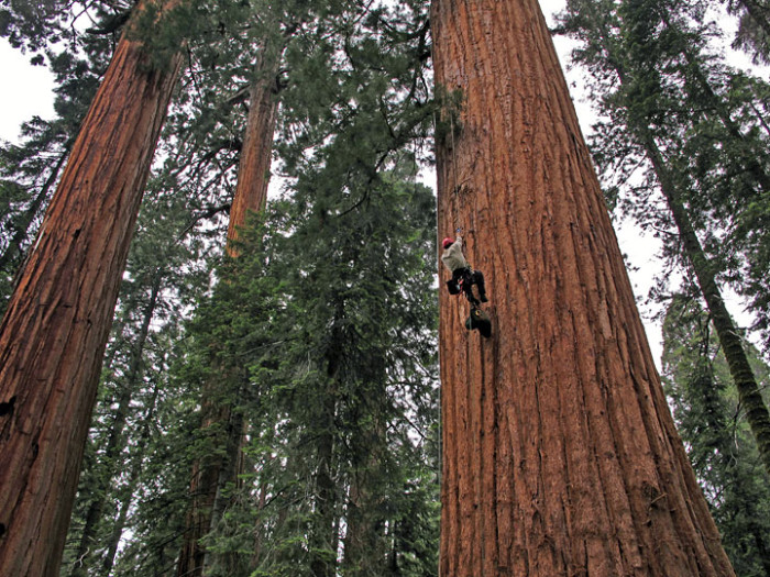 Scientist climbing a giant sequoia