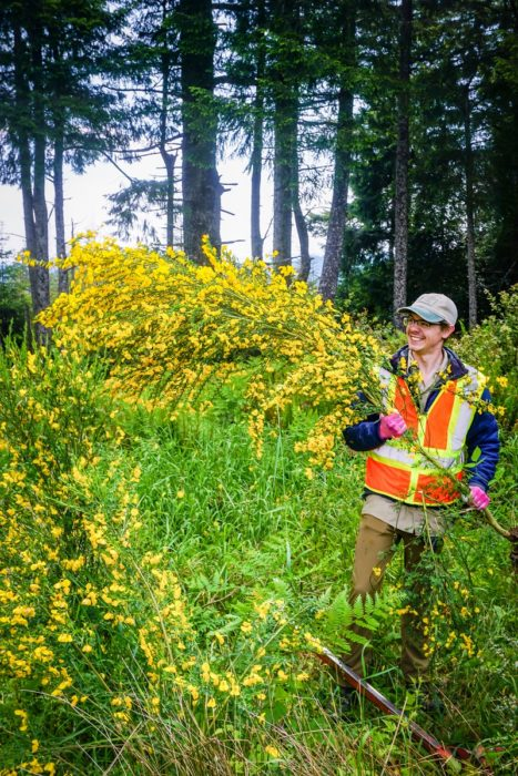 Redwoods Rising Botany Apprentice, Ryan Thompson, pulls a large scotch broom shrub in Redwood National and State Parks. Scotch broom is an invasive non-native shrub from Europe that can rapidly take over recently disturbed areas (e.g. following logging). Photo by Len Mazur