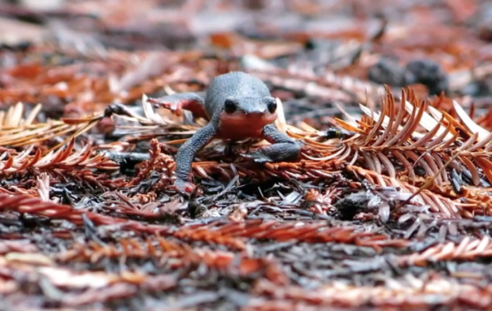 The red-bellied newt