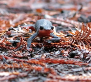 The red-bellied newt (Taricha rivularis)