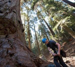 RCCI researcher Steve Sillett preparing to climb a giant sequoia. Photo: Paolo Vescia.