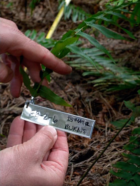 Sword ferns in the Fern Watch study are marked with a tag so that they can be easily located by volunteers every year.