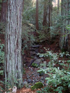 This redwood grove on a League-owned Napa County property will get protection from extra-intense wildfires.