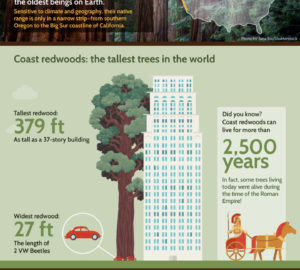 A comparison of a coast redwood's height next to a 37-story building.