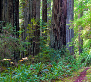 The Coastal Trail, Last Chance section, Del Norte Coast Redwoods State Park. The League has been working closely with CSP to restore the surrounding land and streams for imperiled salmon in this park's Mill Creek forest. Photo by David Baselt