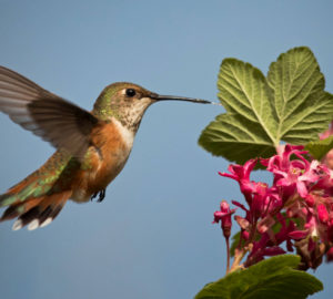 Rufous hummingbird. Photo by Peter Pearsall.