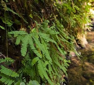 Five-finger ferns cover canyon walls in Peters Creek Old-Growth Forest. Photo by Paolo Vescia