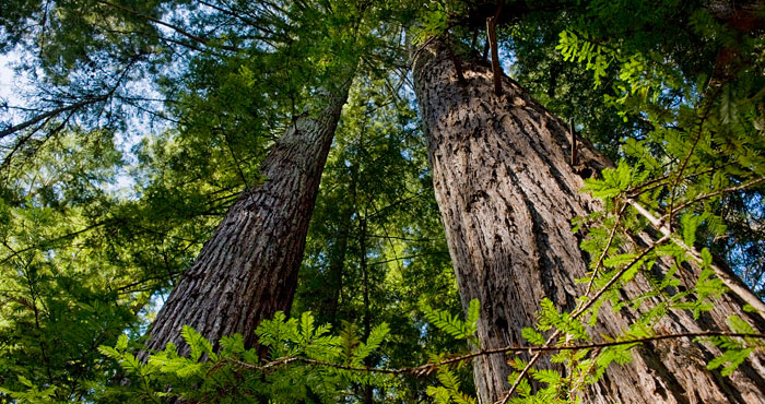You can help protect and restore this 33-acre ancient redwood forest, creating the opportunity for public access to Peters Creek Old-Growth Forest in the near future. Photo by Paolo Vescia