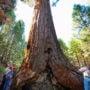 Giant sequoia. Photo by Paolo Vescia
