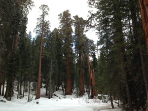 In Sequoia National Park, few places in the forest still had a foot of snow on the ground like this part of Giant Forest.