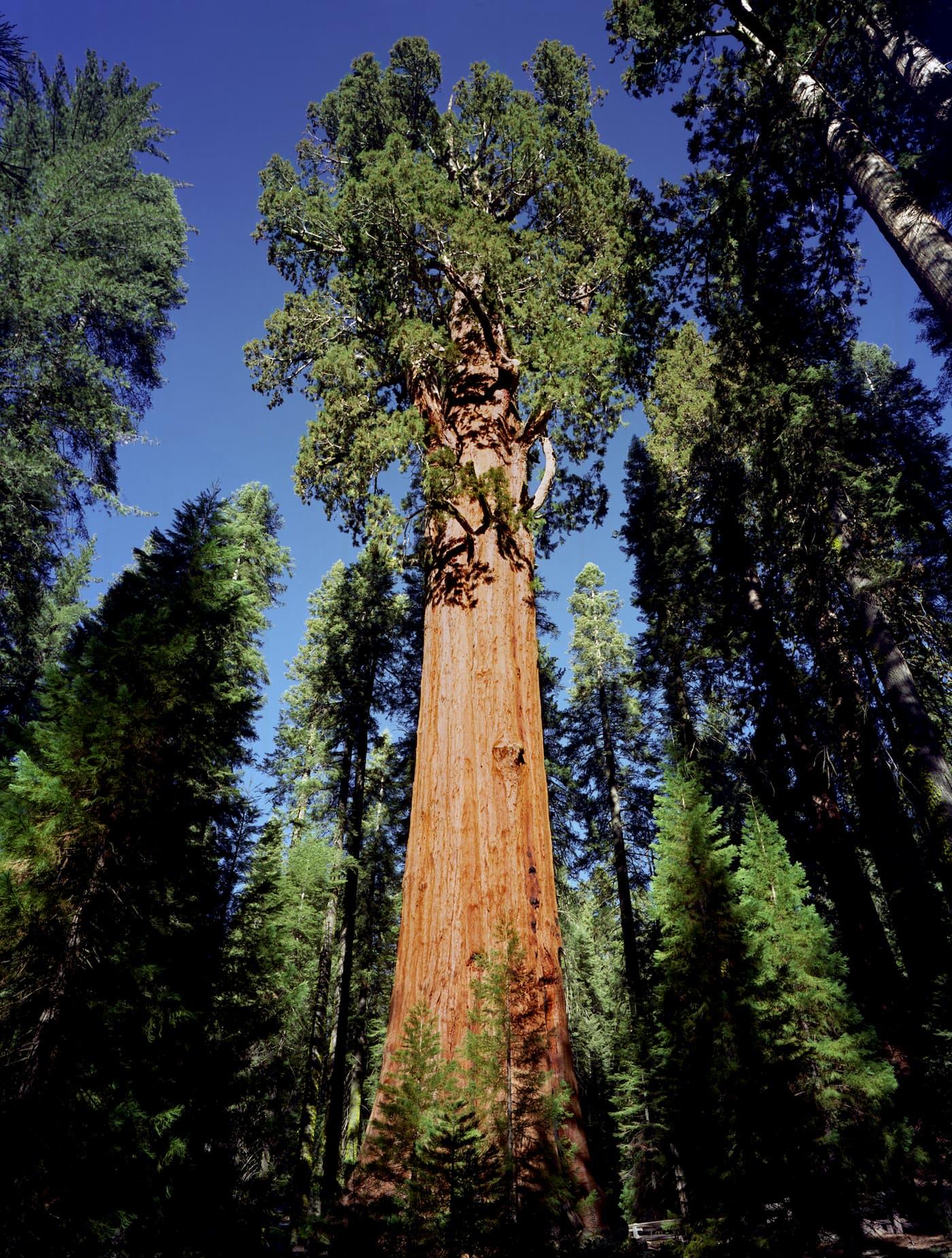 General Sherman Tree. Photograph by Bill Fletcher