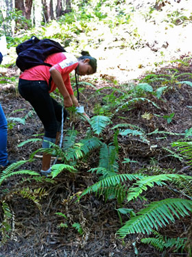 A high school volunteers measures the length of sword fern fronds.
