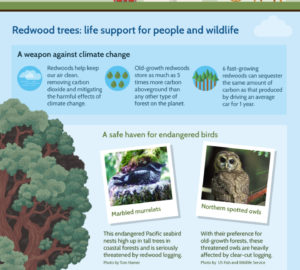 Why Protect Redwoods Infographic