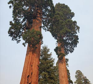 Giant sequoia trees at Alder Creek