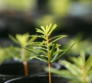 Redwood seedlings.