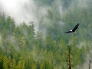 bald_eagle_and_foggy_forest