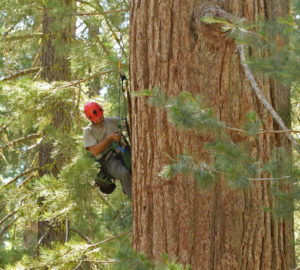 Researcher climbing a giant sequoia tree